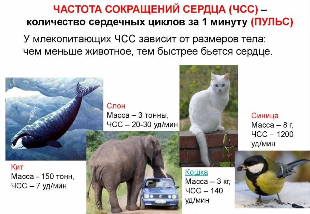 млекопитающие википедия