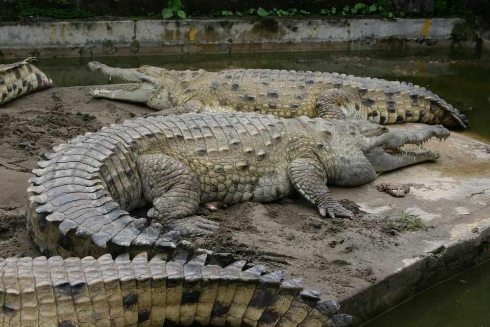 Оринокский крокодил