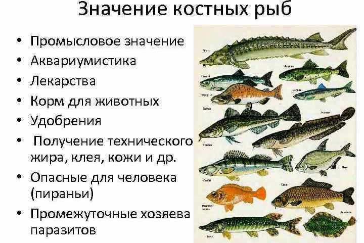 Ответы@Mail.Ru: значение хрящевых рыб? и костных рыб?