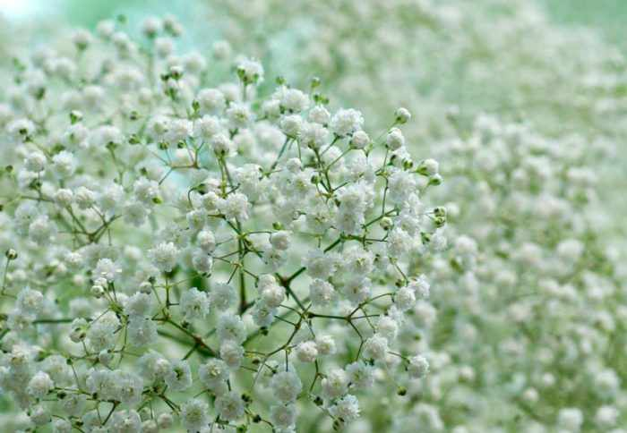 Цветок гипсофила: посадка и уход в открытом грунте, виды и сорта с фото