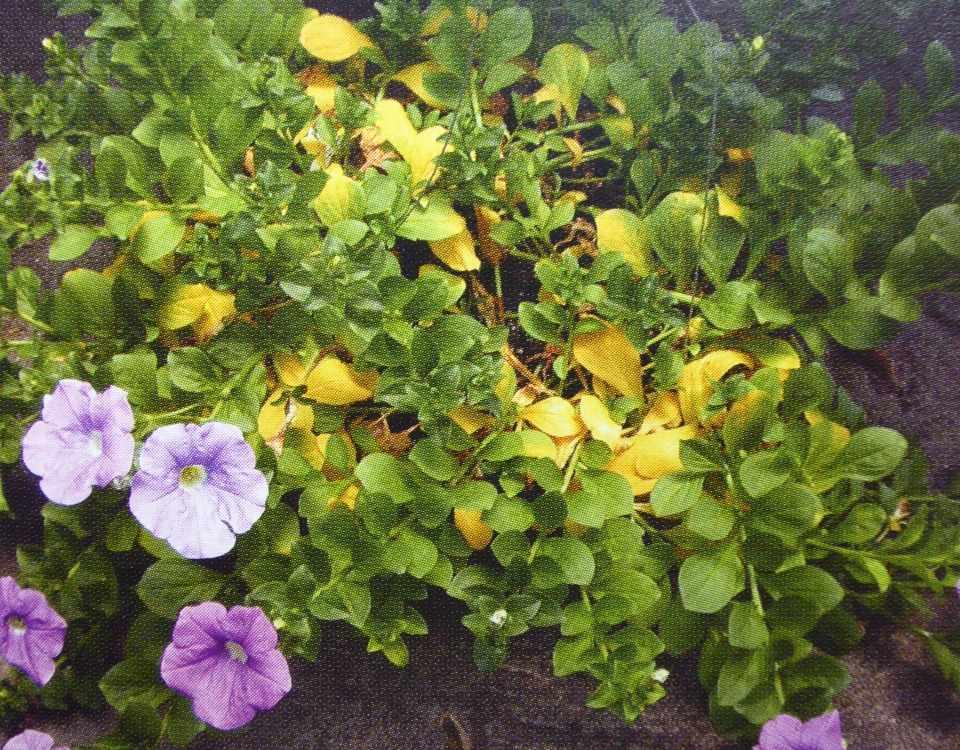 Дефицит питательных веществ при производстве однолетних цветов.