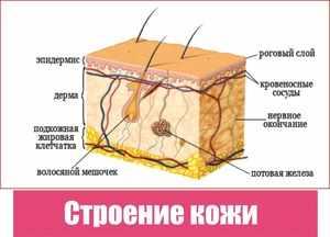 Слои кожи у человека
