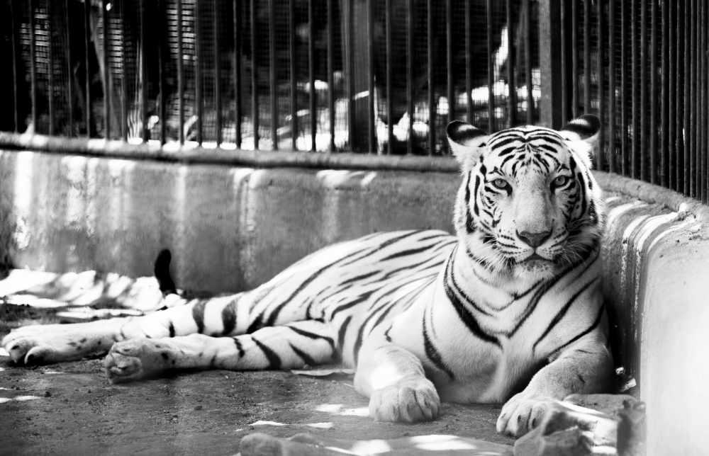 амурский тигр краткое описание для школьников (главный ключ)
