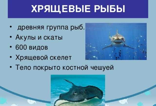 Презентация урока по биологии на тему Класс Хрящевые и Костные рыбы ...