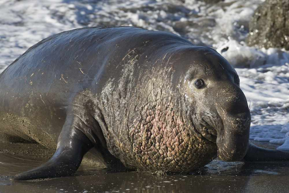Морские слоны — Википедия