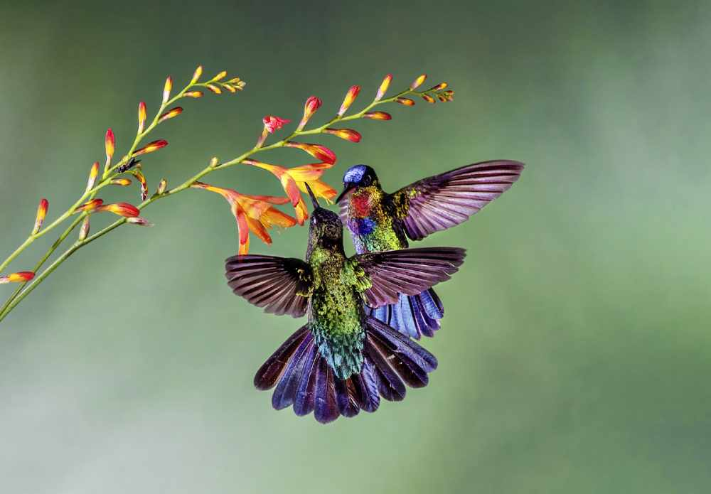 Маленькая жизнь: как колибри стали настоящими супергероями ...