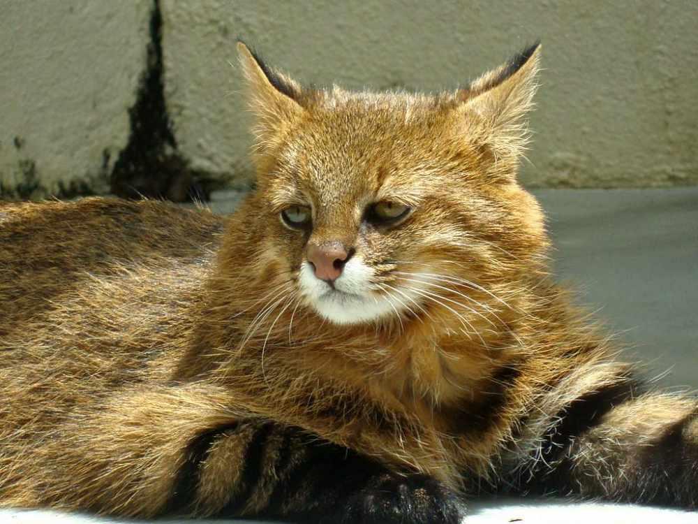 Пампасская кошка - все о жизни ночного хищника