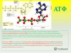 Какую функцию выполняет молекула АТФ