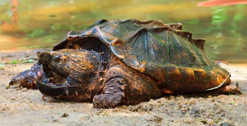 Грифовая черепаха - уход в домашних условиях, кормление