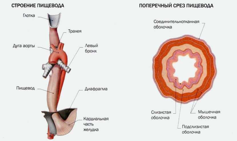 Анатомия желудочно-кишечного тракта (ЖКТ) | Meddoc