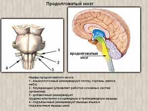 Типы функций выполняемые продолговатым мозгом