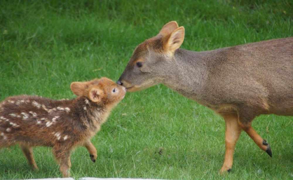 Самый маленький вид оленей в мире – пуду.