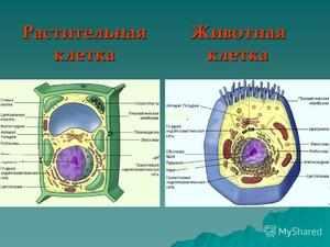 Основные органоиды клеток