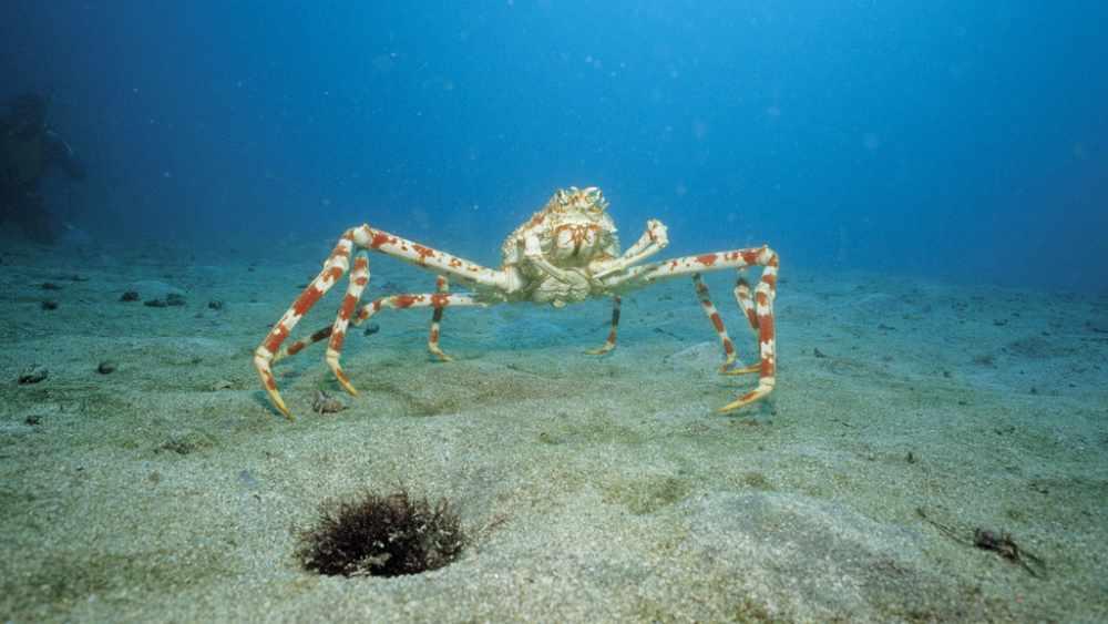 Японский краб-паук или гигантский краб (лат. Macrocheira kaempferi)