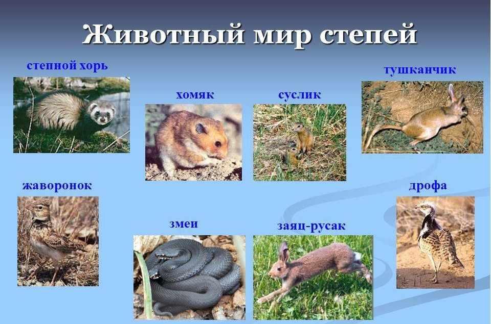 Презентация по географии России в 8 классе на тему Лесостепи и ...