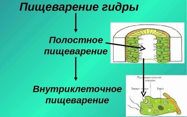 Презентация на тему Пресноводная гидра – одиночный полип - скачать ...