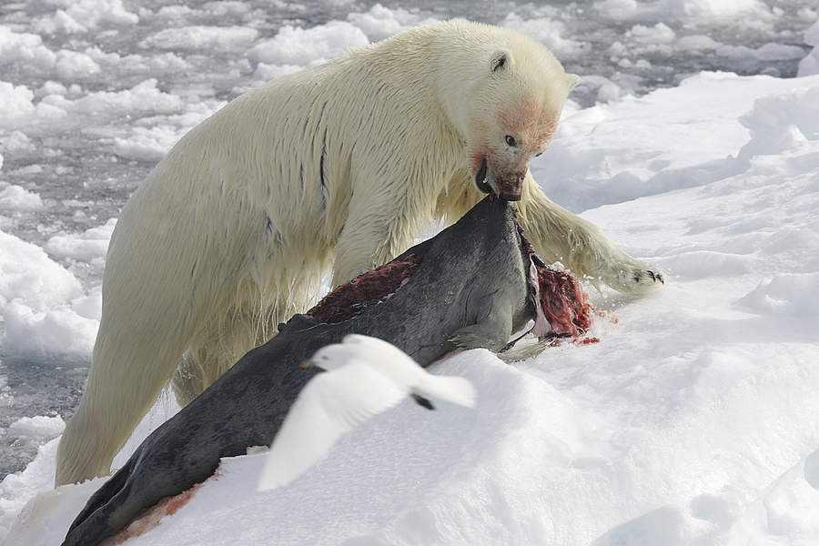 белый медведь описание