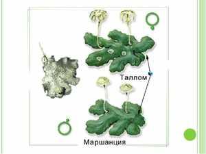 Половое размножение мохообразных растений