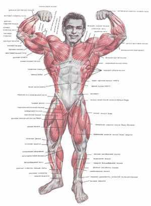 Сколько мышц у человека