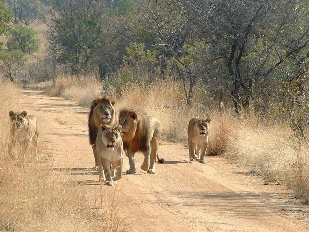 описание льва (главный ключ)
