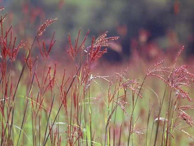 Злаки и травы — GreenSib