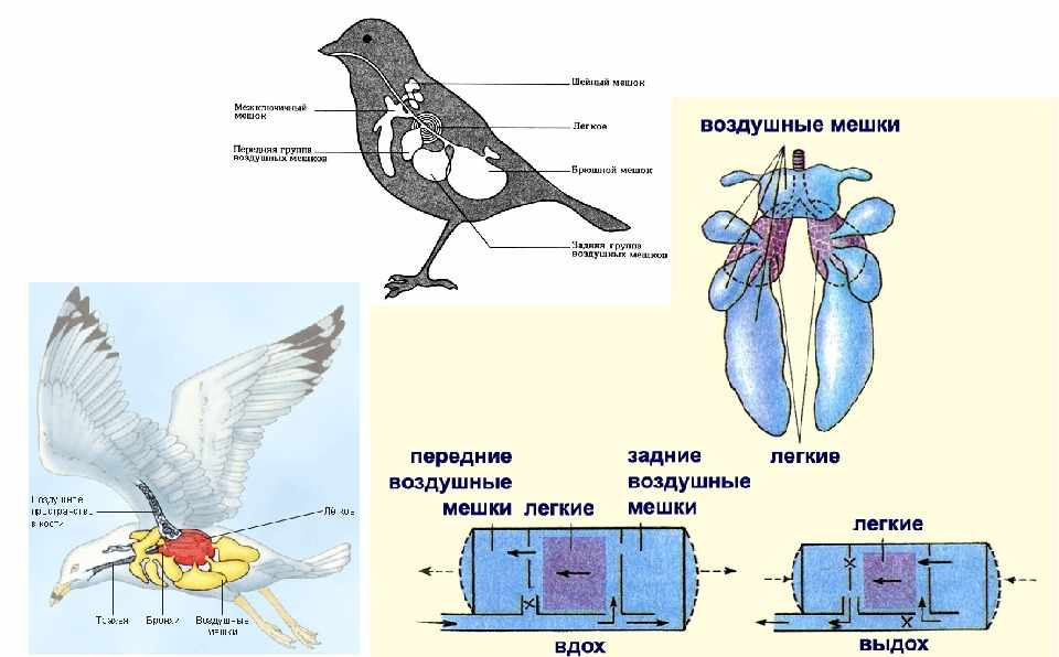 Презентация по биологии на тему Класс Птицы (7-8)