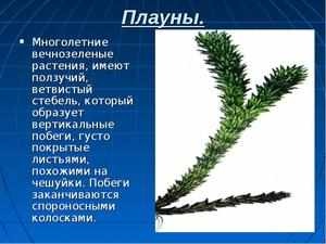 Растения плауны