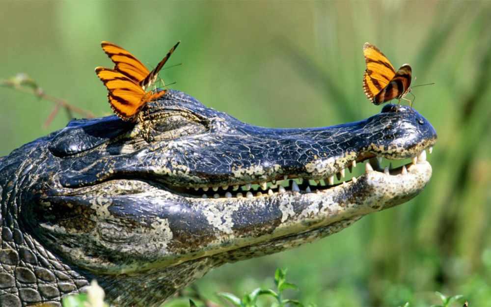Американский аллигатор обнаружен плавающим в озере Мичиган ...