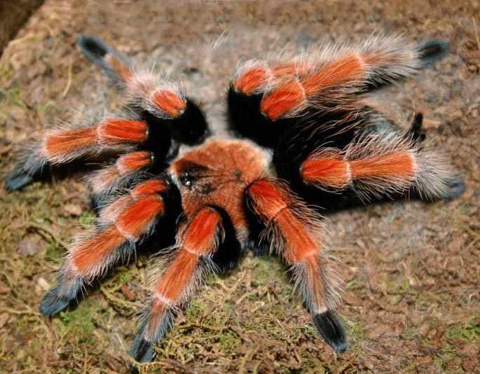 Паук птицеед: фото, виды, содержание и размножение, домашний паук ...