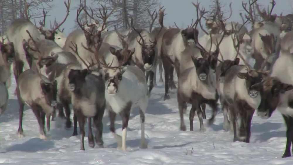 Дикие северные олени Таймыра - YouTube