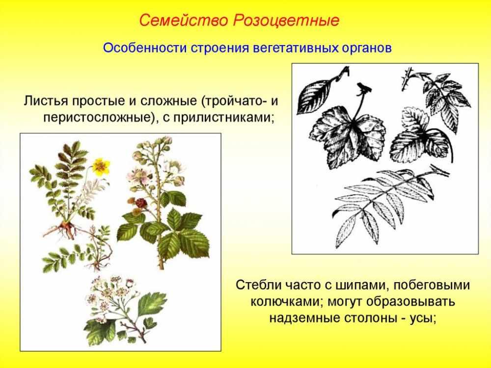формула цветка сливы