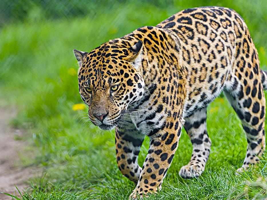 Животное ягуар фото, описание, питание, размножение