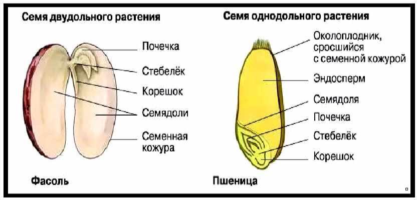 Конспект Строение семян. Плоды - УчительPRO