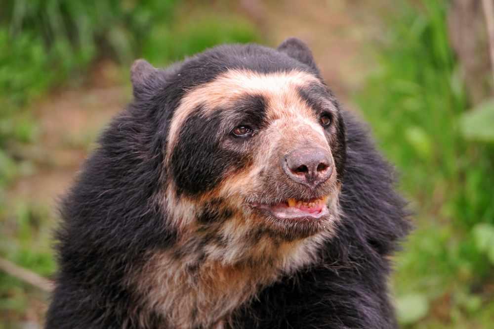 Очковый медведь (лат. Tremarctos ornatus)