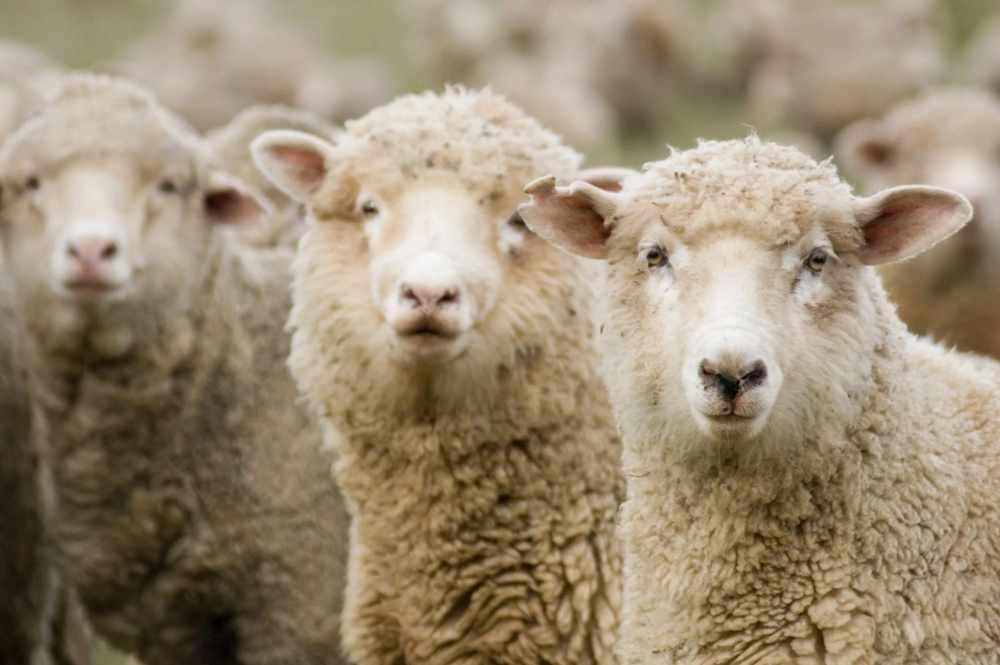 Овцеводство в России: породы, численность, продуктивность