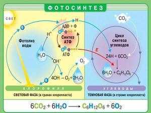 Как работают растения при процессе фотосинтеза