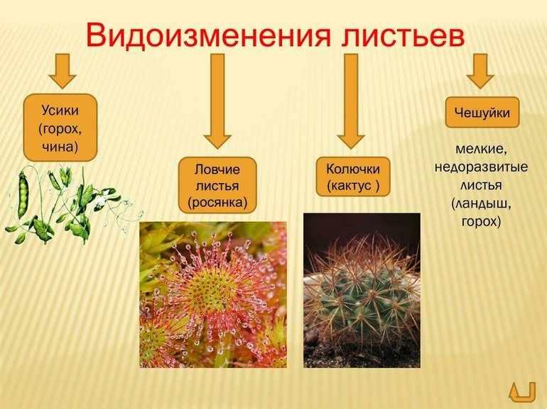 Видоизменение листьев растений 6 класс