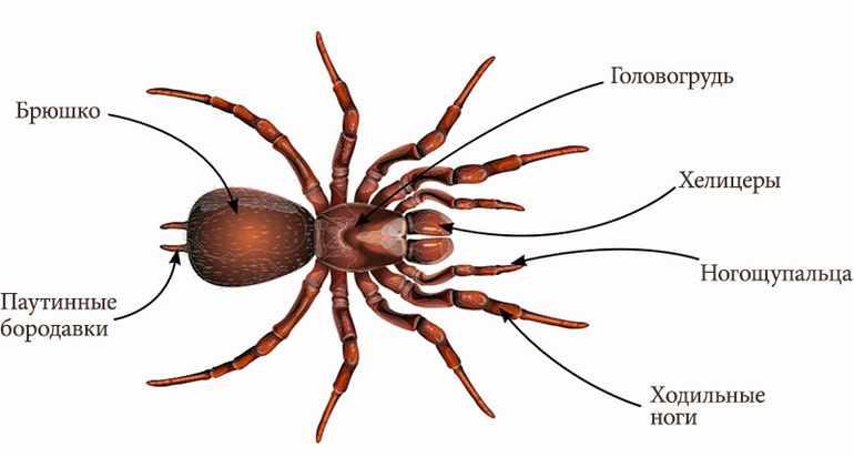 отделы тела у паукообразных