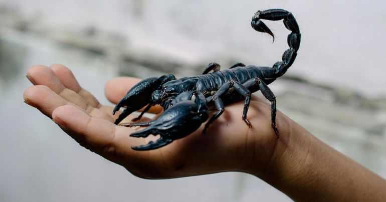 К какому классу относится скорпион