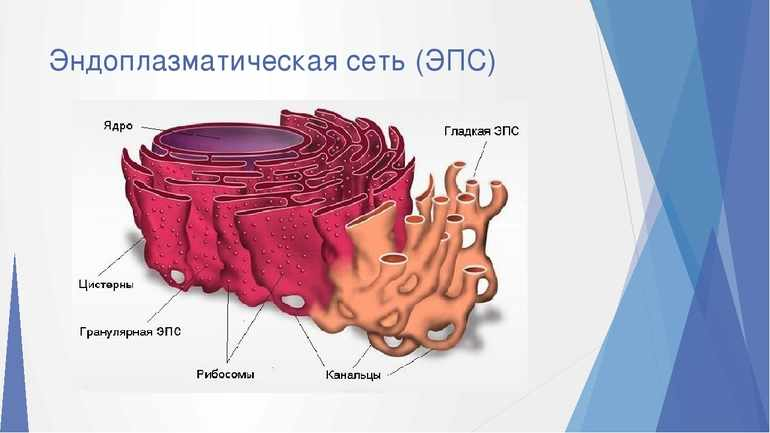 Клетка строение