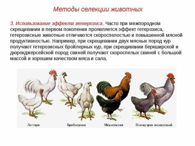 С чем связаны особенности селекции животных