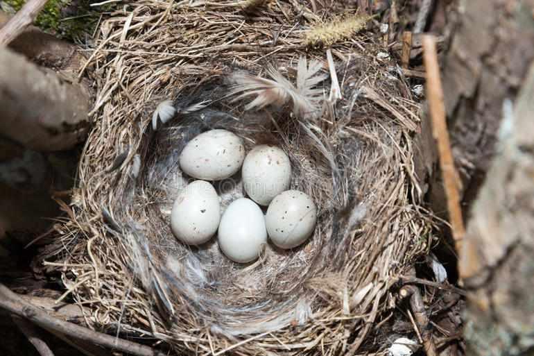 Гнездо щегла