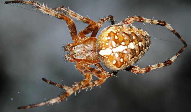 тело паука крестовика