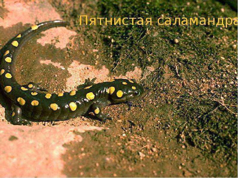 Пятнистая саламандра - представитель земноводных животных