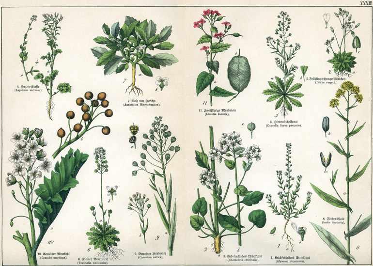 Семейство крестоцветных растений