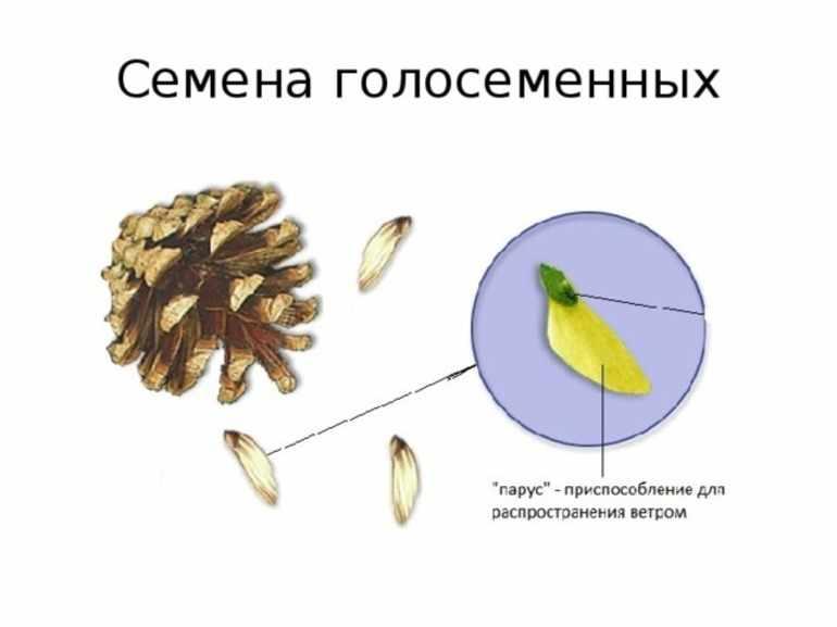 Оплодотворение голосеменных растений