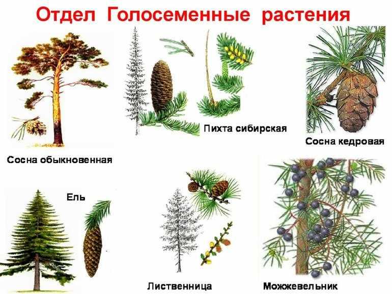Строение семени