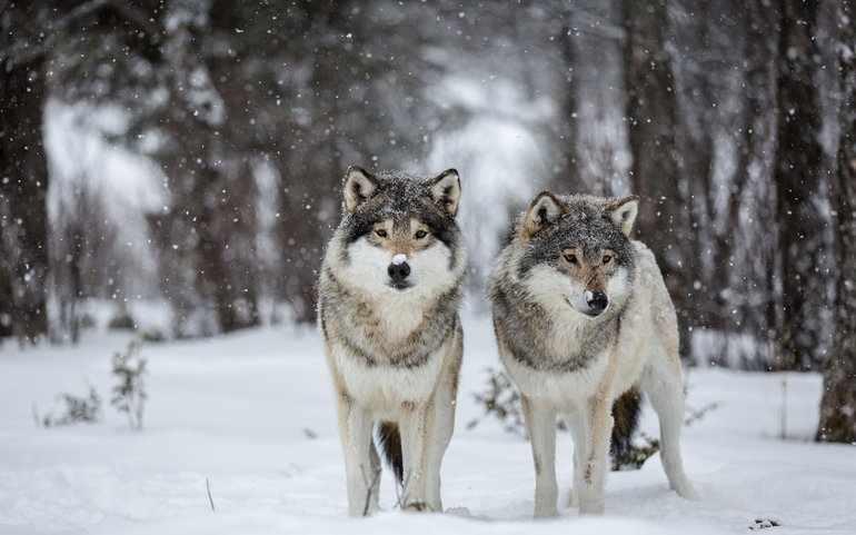К зимней поре волчата стали совсем большими