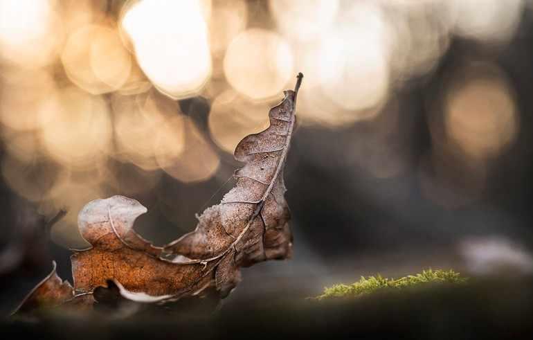 Листок дуба