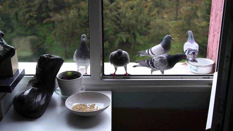 Голуби подлетает к насыпанному для них корму на карнизе за окном